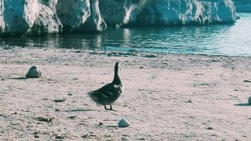 Duck on a beach
